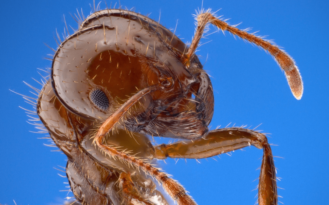 What to Do if You Get Bit and Stung by Fire Ants